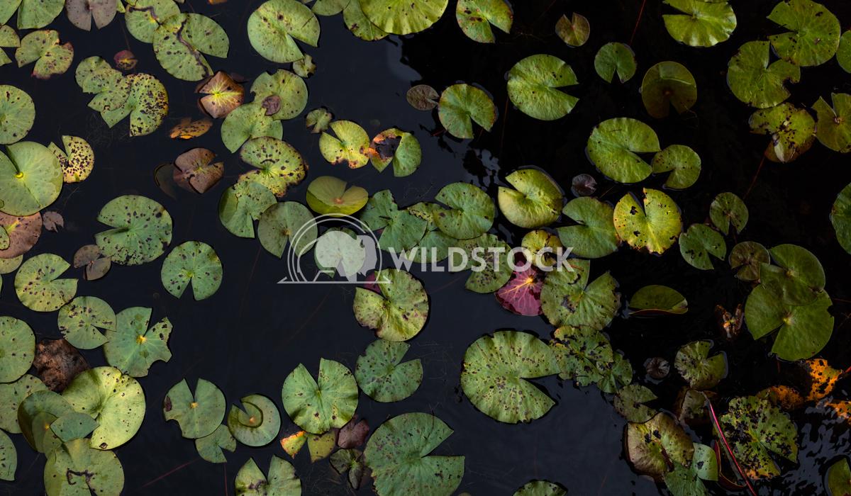 Lily water leaves Lara Eichenwald  Big Branch Marsh National Wildlife Refuge