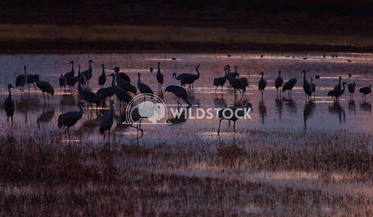 Sandhill cranes at dusk Lara Eichenwald Bosque del Apache National Wildlife Refuge in New Mexico.  National Wildlife Re