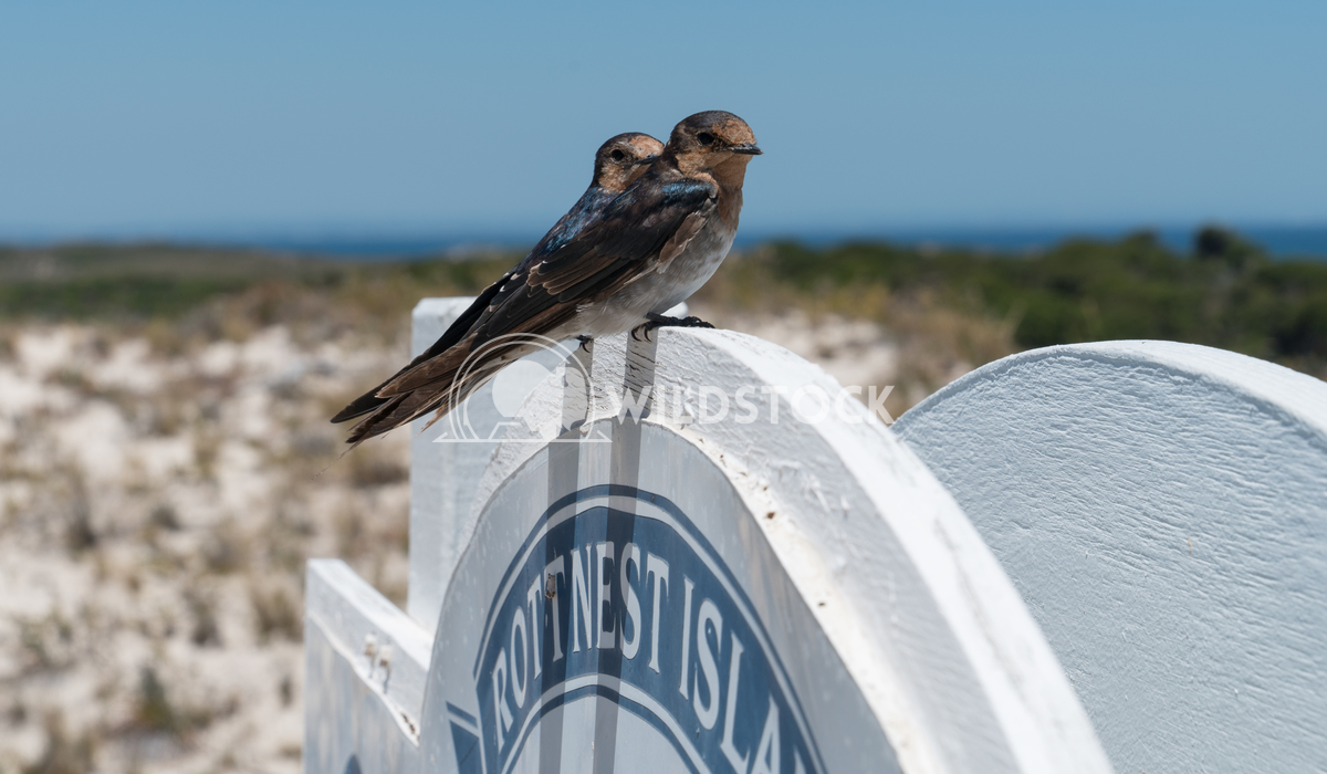 Welcome Swallow, Hirundo neoxena Alexander Ludwig Welcome Swallow, Hirundo neoxena, image was taken on Rottnest Island,
