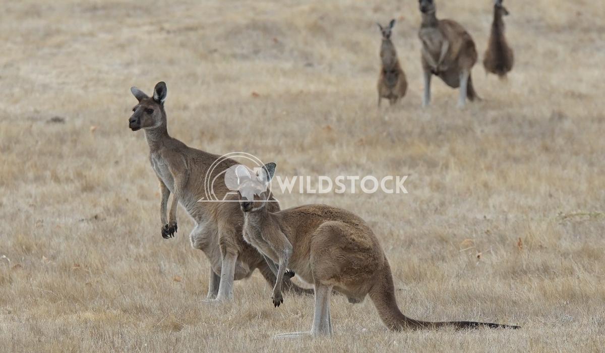 Western Grey Kangaroo, Macropus fuliginosus 4 Alexander Ludwig Western Grey Kangaroo (Macropus fuliginosus), photo was t
