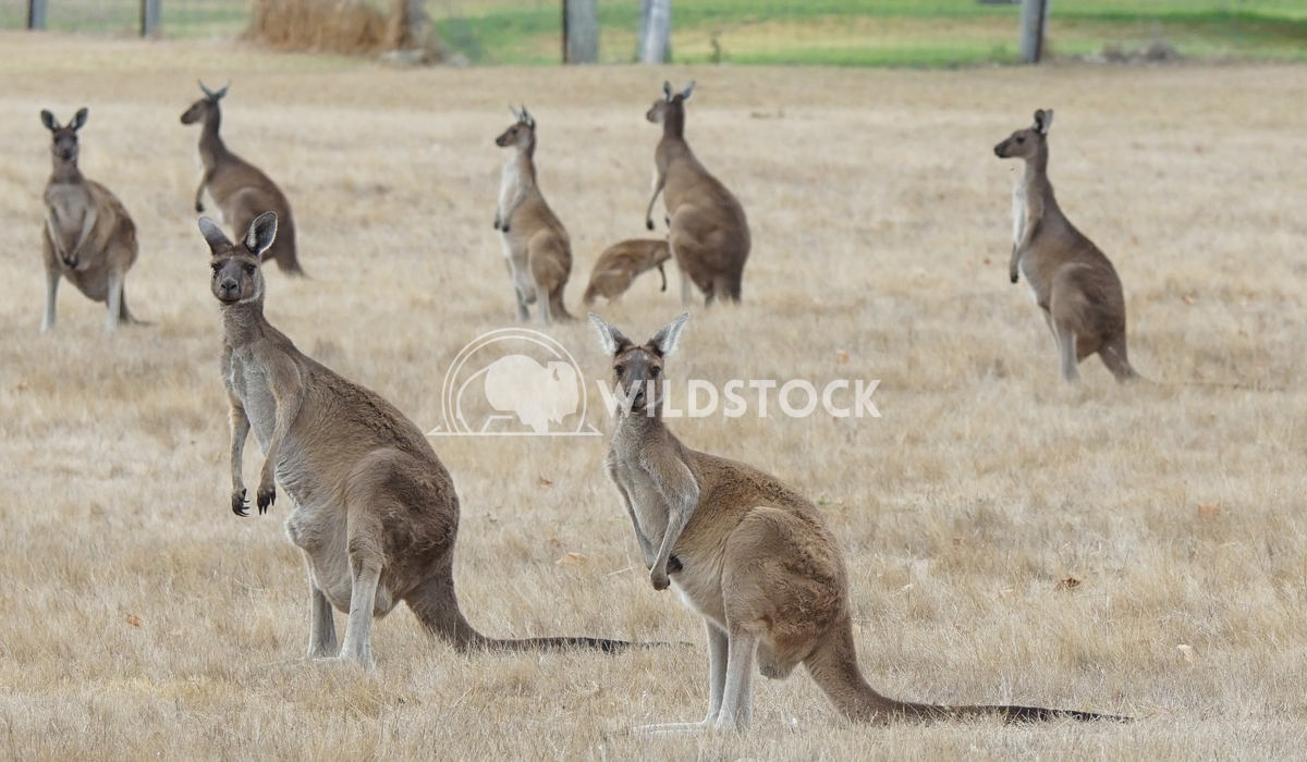 Western Grey Kangaroo, Macropus fuliginosus 5 Alexander Ludwig Western Grey Kangaroo (Macropus fuliginosus), photo was t
