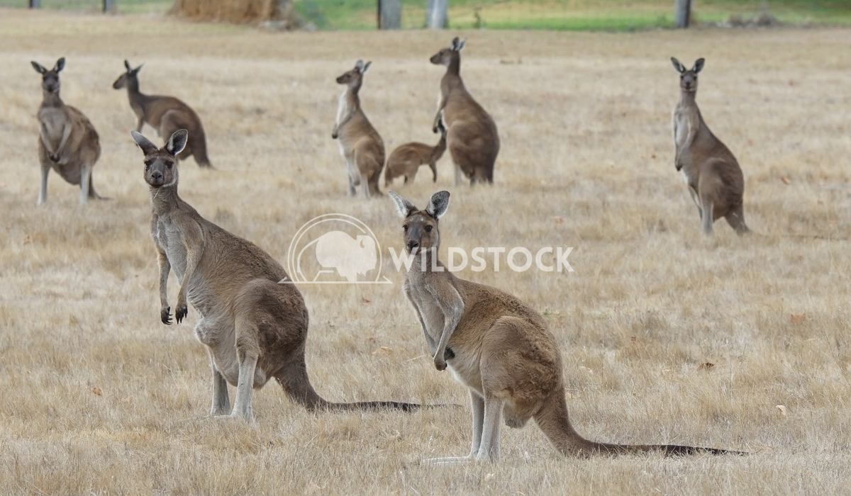 Western Grey Kangaroo, Macropus fuliginosus 6 Alexander Ludwig Western Grey Kangaroo (Macropus fuliginosus), photo was t