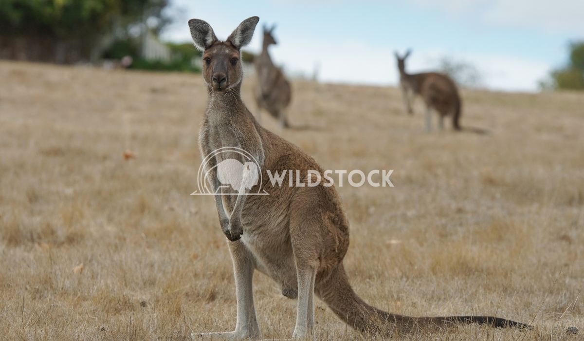Western Grey Kangaroo, Macropus fuliginosus 8 Alexander Ludwig Western Grey Kangaroo (Macropus fuliginosus), photo was t