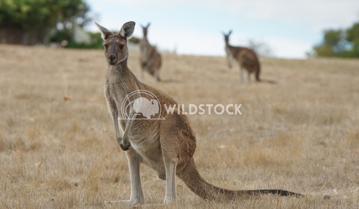 Western Grey Kangaroo, Macropus fuliginosus 9 Alexander Ludwig Western Grey Kangaroo (Macropus fuliginosus), photo was t
