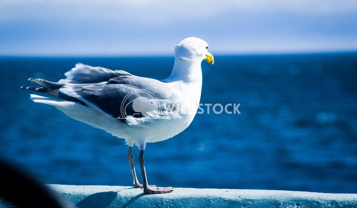 Gull by the ocean  Julia Hasenauer