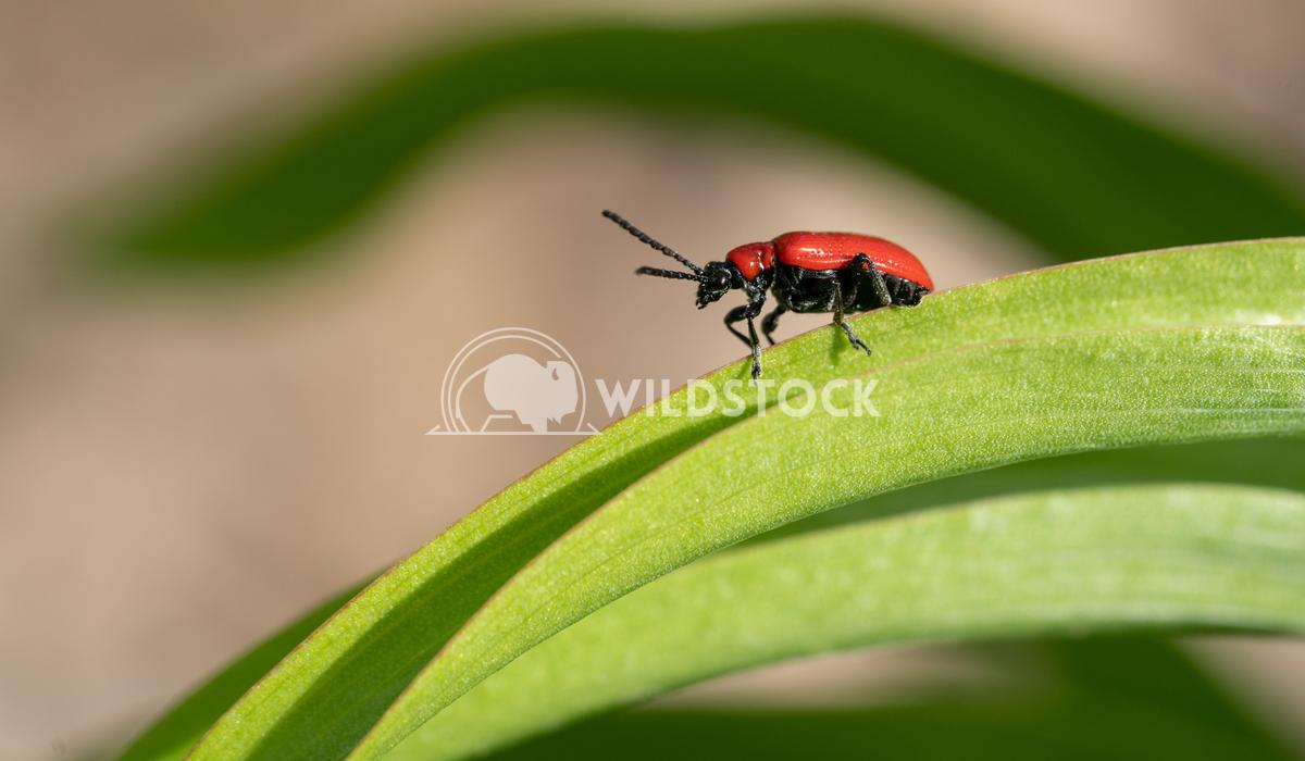 Lily leaf beetle, Lilioceris lilii 1 Alexander Ludwig Lily leaf beetle (Lilioceris lilii), vermin in the gardens