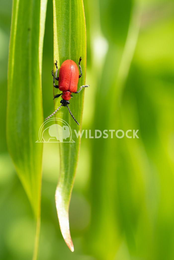 Lily leaf beetle, Lilioceris lilii 2 Alexander Ludwig Lily leaf beetle (Lilioceris lilii), vermin in the gardens
