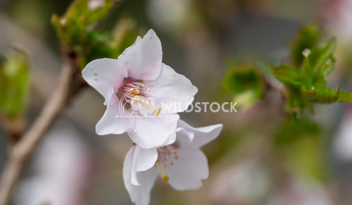 Fuji cherry, Prunus incisa 1 Alexander Ludwig Fuji cherry 'Kojou-no-mai' (Prunus incisa)