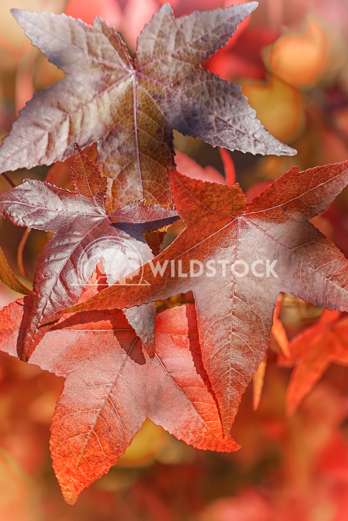 Topic autumn, colourful acer leafs 1 Alexander Ludwig Beautiful coloured acer leafs during the autumn season