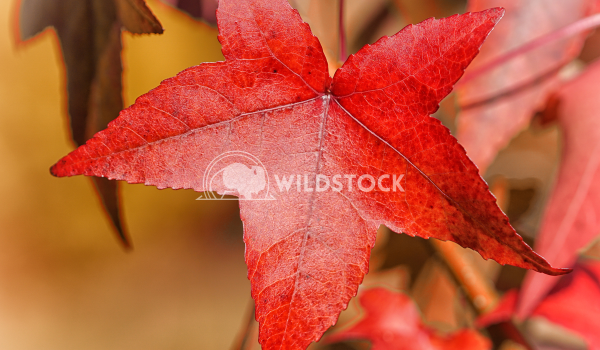 Topic autumn, colourful acer leafs 2 Alexander Ludwig Beautiful coloured acer leafs during the autumn season