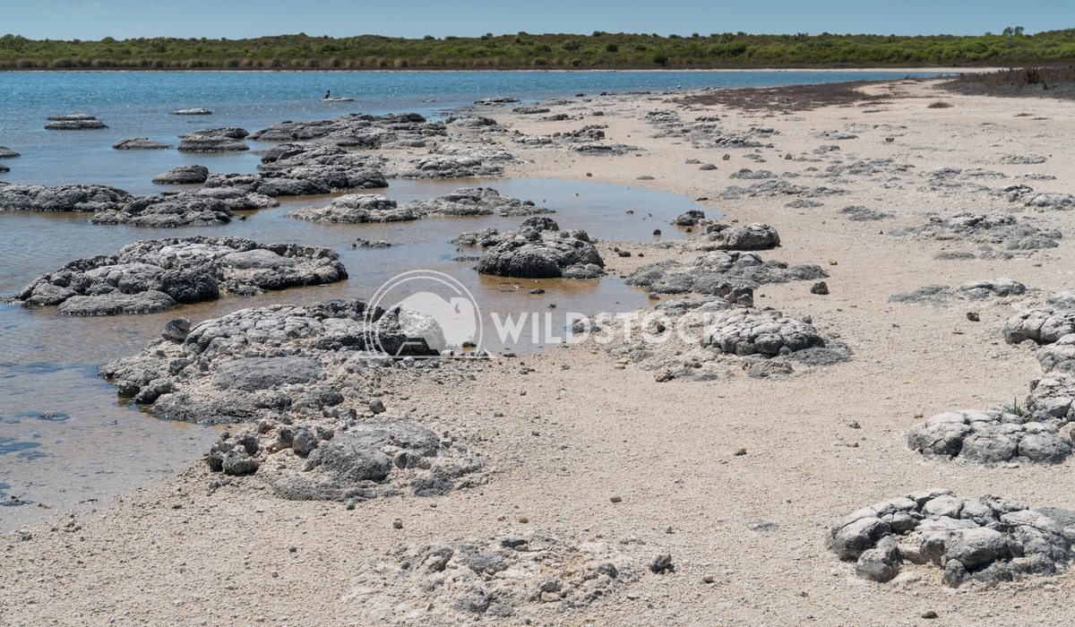 Stromatolite on lake Thetis, Nambung National Park, Western Australia 3 Alexander Ludwig Stromatolite on lake Thetis in