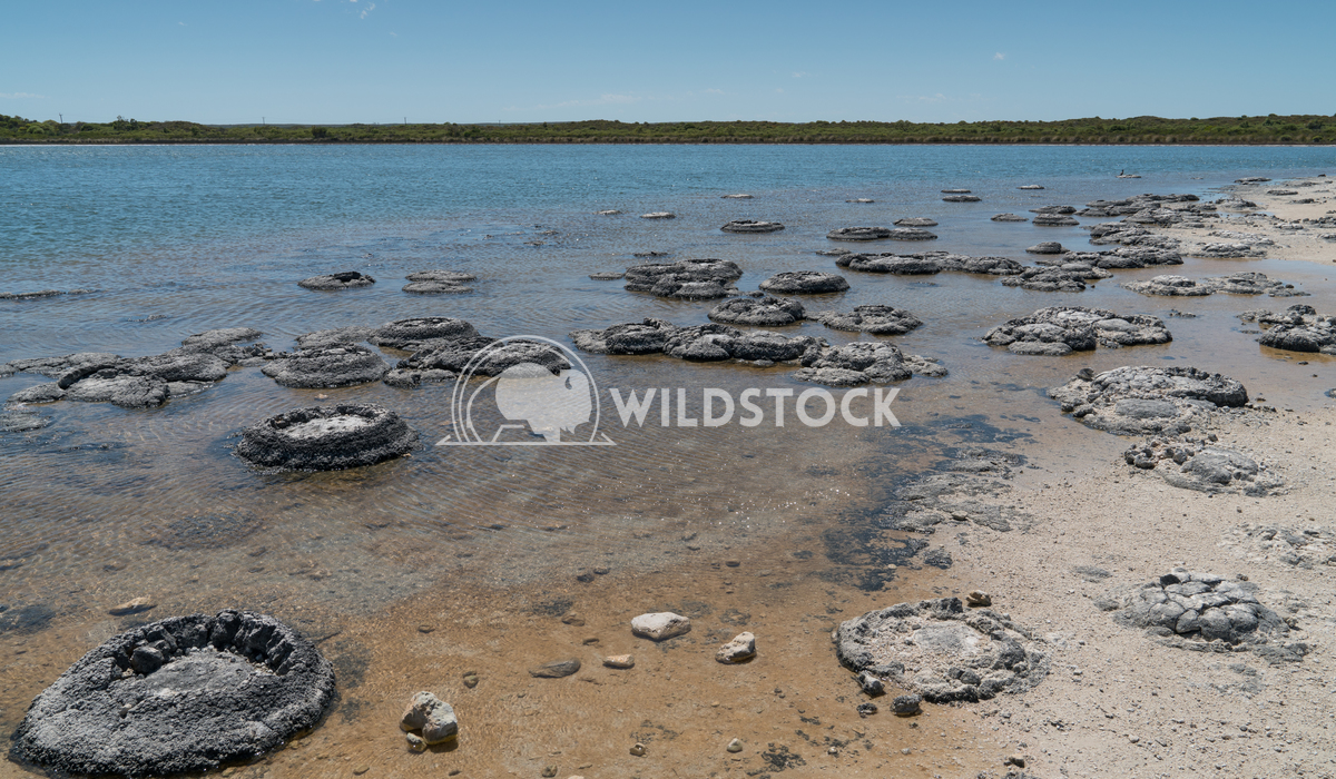 Stromatolite on lake Thetis, Nambung National Park, Western Australia 4 Alexander Ludwig Stromatolite on lake Thetis in