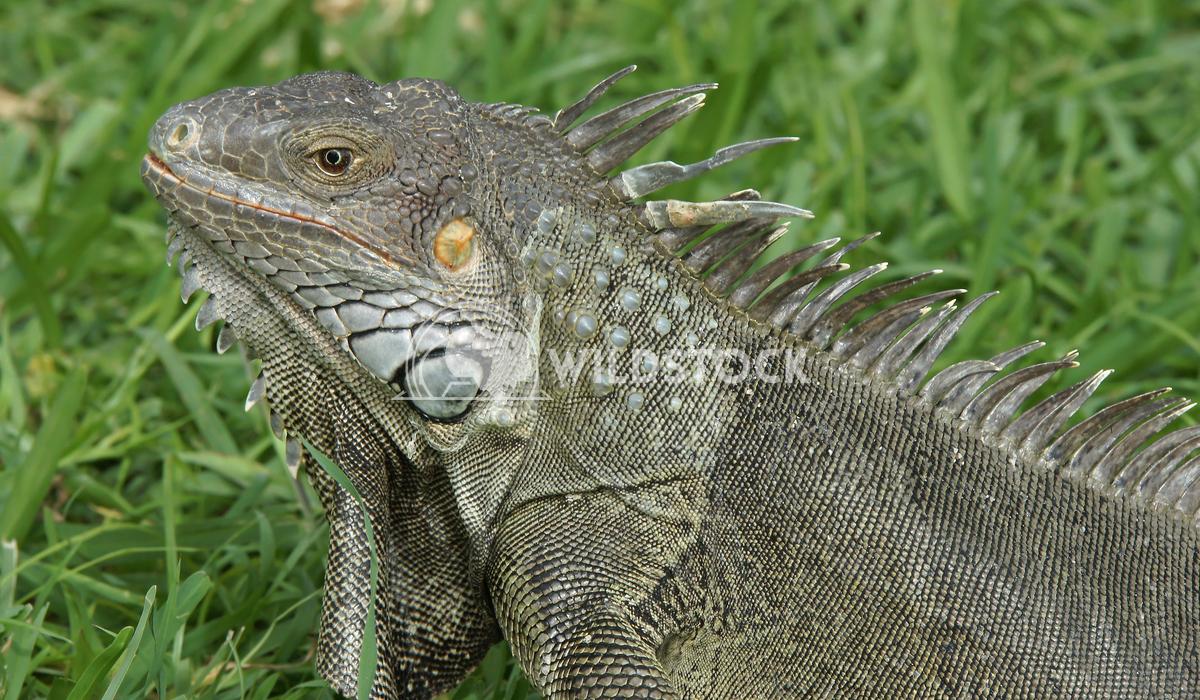 Green Iguana, Aruba, ABC Islands 4 Alexander Ludwig Green Iguana, typical animal of Aruba, ABC Islands
