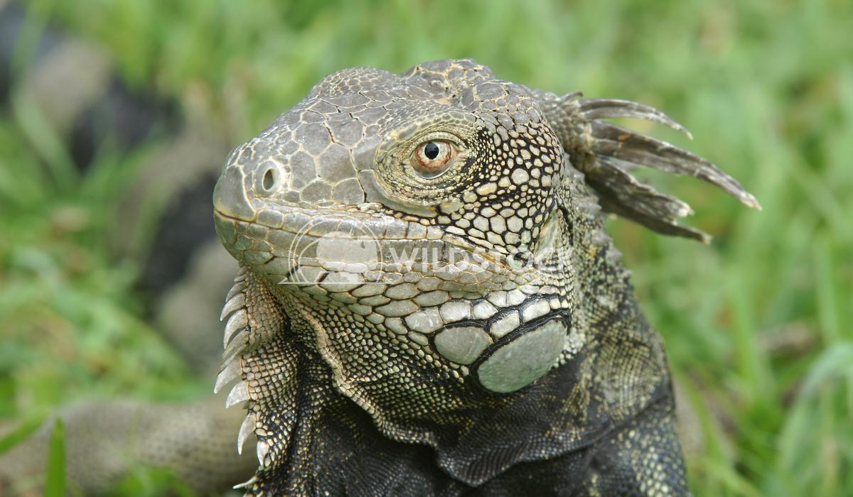 Green Iguana, Aruba, ABC Islands 3 Alexander Ludwig Green Iguana, typical animal of Aruba, ABC Islands