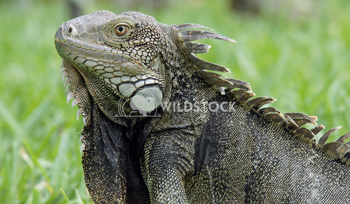 Green Iguana, Aruba, ABC Islands 2 Alexander Ludwig Green Iguana, typical animal of Aruba, ABC Islands