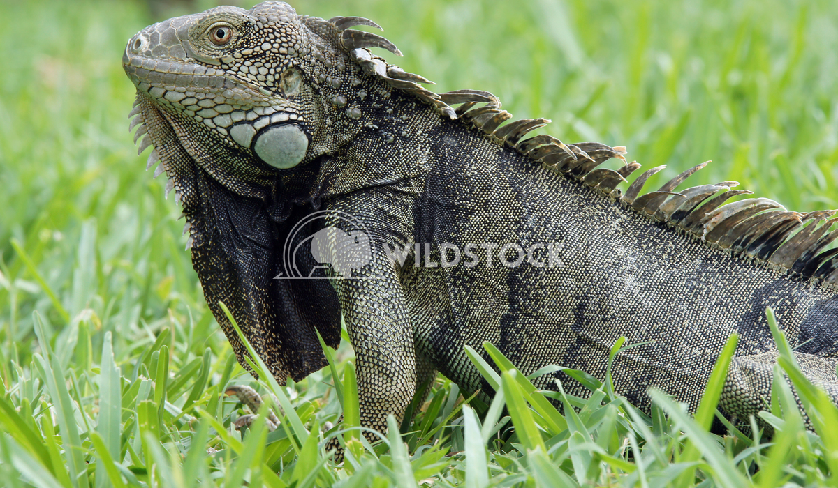Green Iguana, Aruba, ABC Islands 1 Alexander Ludwig Green Iguana, typical animal of Aruba, ABC Islands