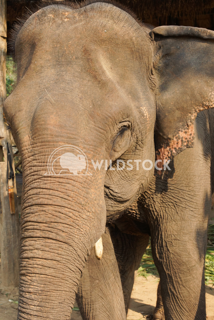 Elephant, Laos, Asia 2 Alexander Ludwig Working elephant, Laos, South East Asia