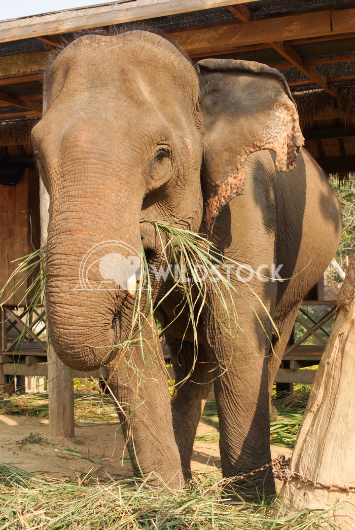 Elephant, Laos, Asia 4 Alexander Ludwig Working elephant, Laos, South East Asia