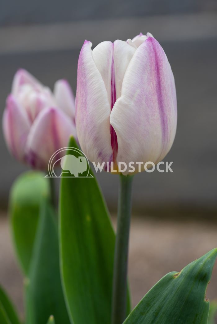 Tulip in springtime, Tulipa 3 Alexander Ludwig Tulip, Tulipa, close up of the flower of spring