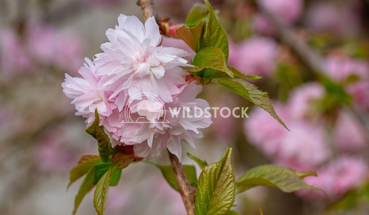 Hill Cherry, Prunus serrulata Alexander Ludwig Hill Cherry, Kiku-Shidare-Sakura, Prunus serrulata, blooms of springtime