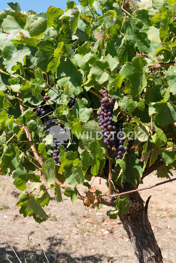 Common grape vine, Vitis vinifera 1 Alexander Ludwig Common grape vine, Vitis vinifera, Cabernet Sauvignon