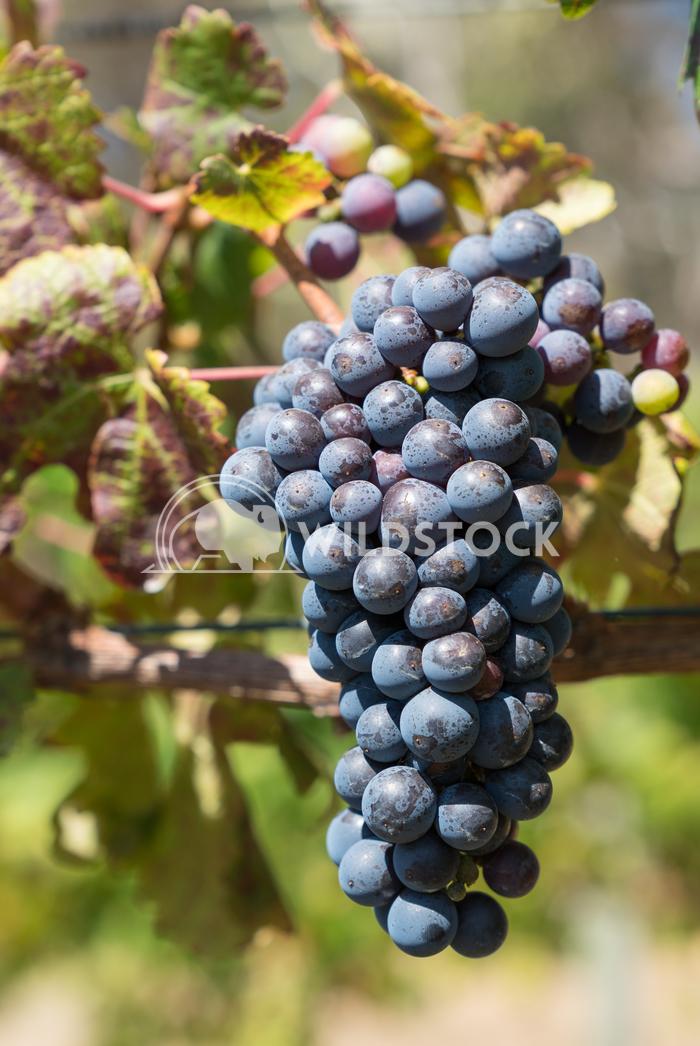 Common grape vine, Vitis vinifera 2 Alexander Ludwig Common grape vine, Vitis vinifera, Cabernet Sauvignon