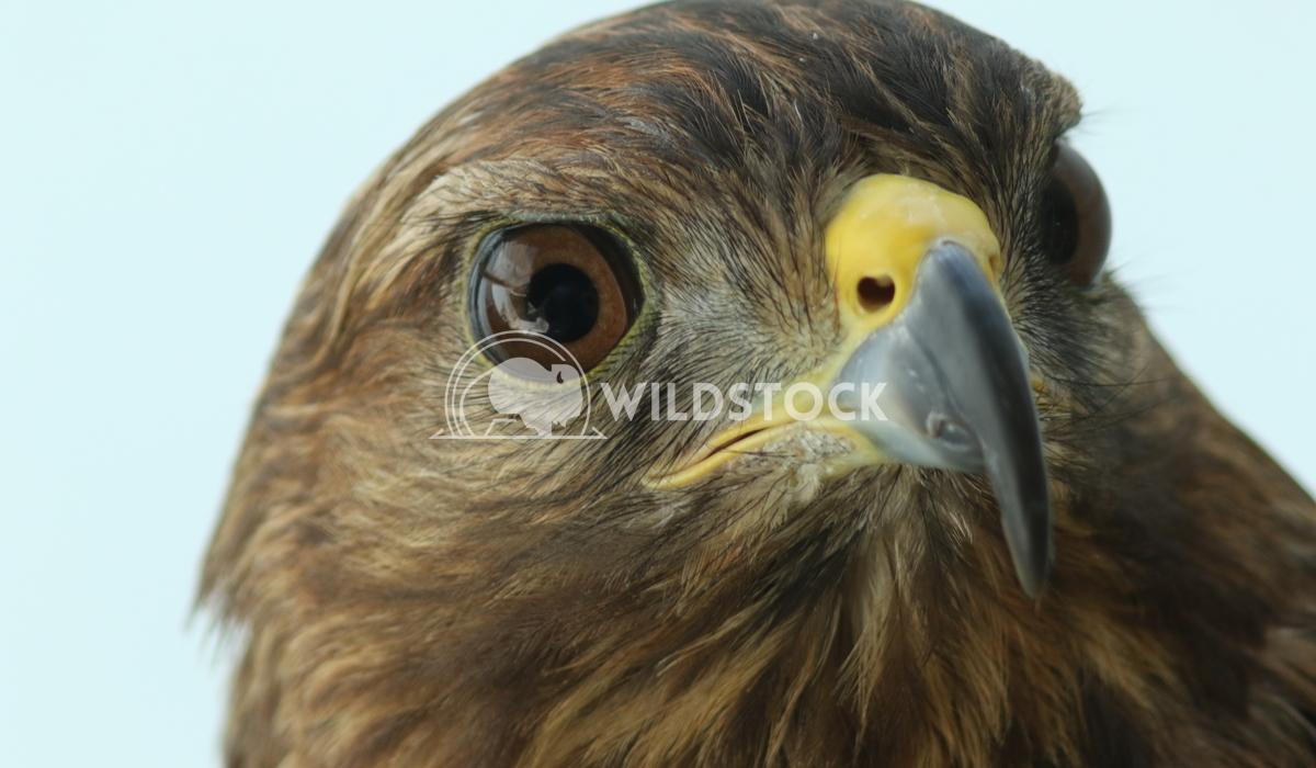 Peregrine falcon Vieru Andrei Silviu