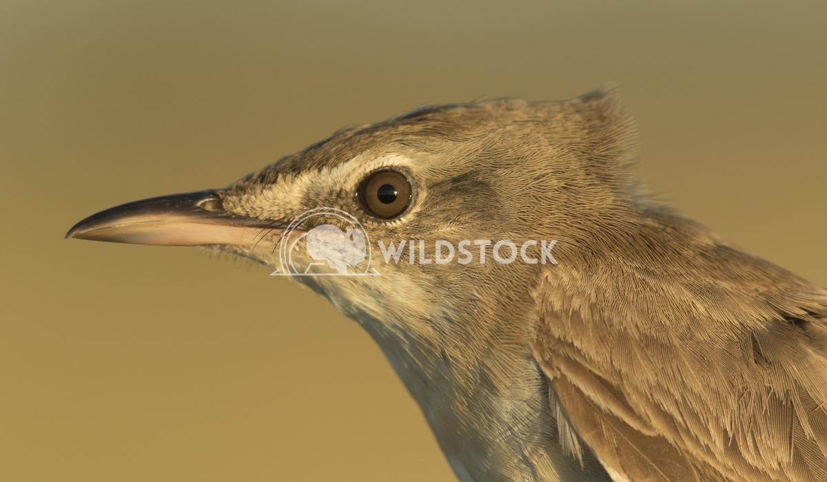 Great reed warbler  Vieru Andrei Silviu