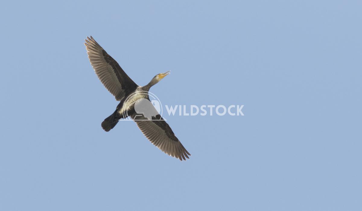 Great cormorant Vieru Andrei Silviu