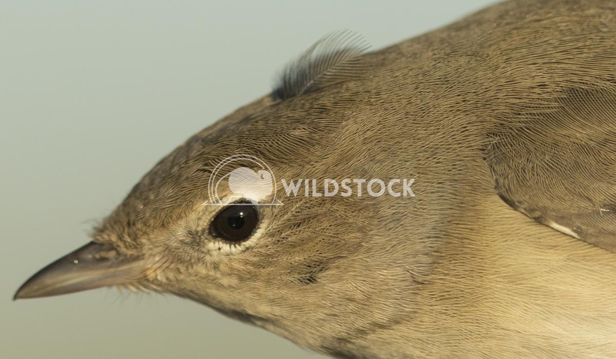 Garden warbler Vieru Andrei Silviu