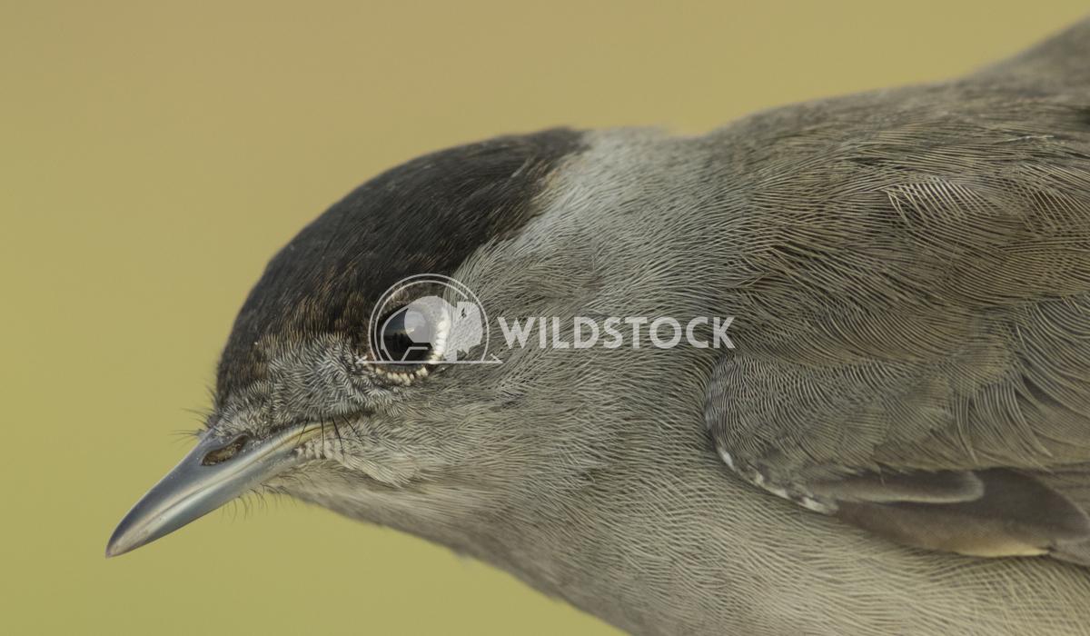 Eurasian blackcap Vieru Andrei Silviu