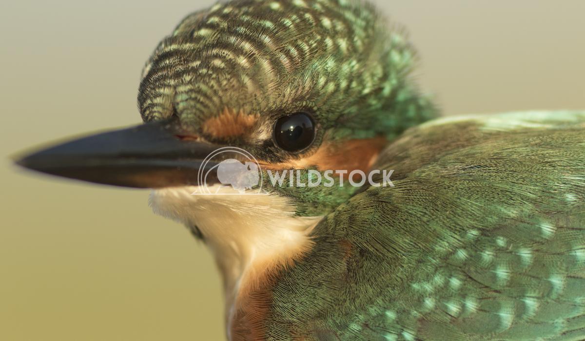 Common kingfisher Vieru Andrei Silviu