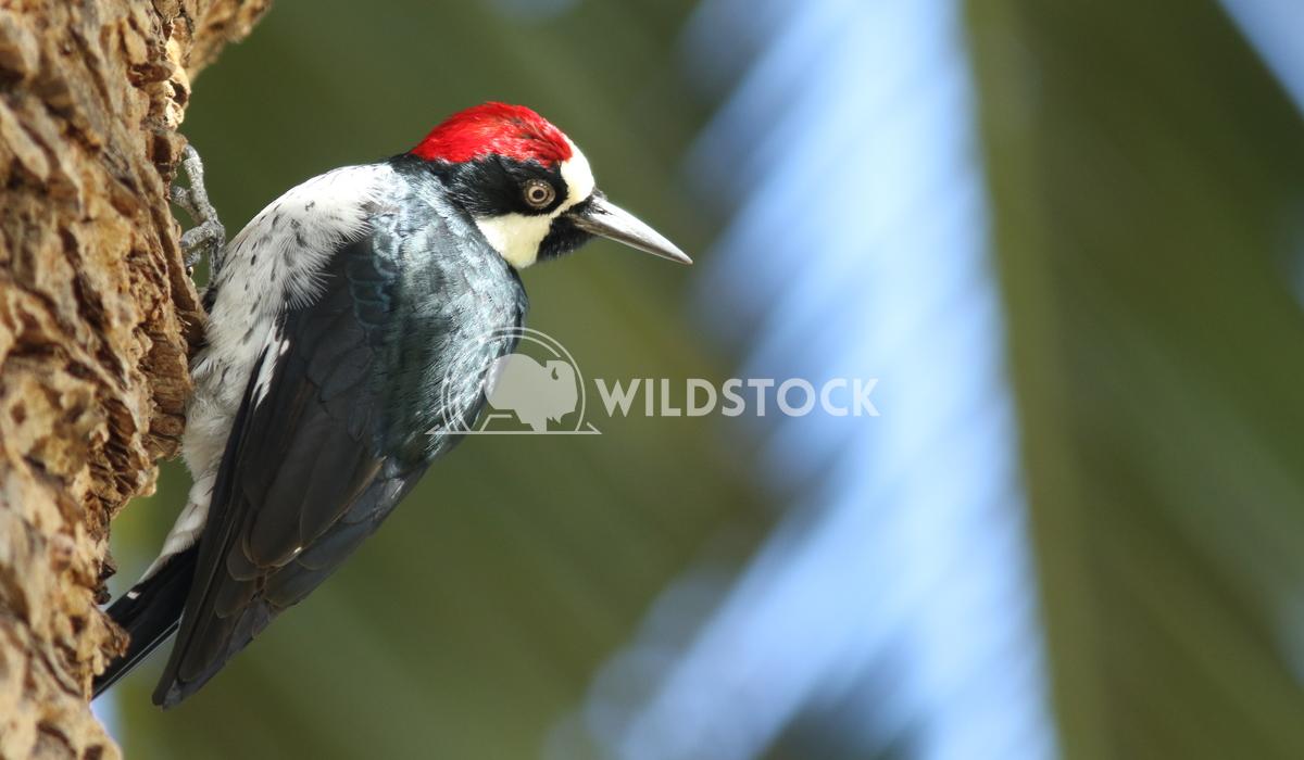 Acorn woodpecker  Vieru Andrei Silviu