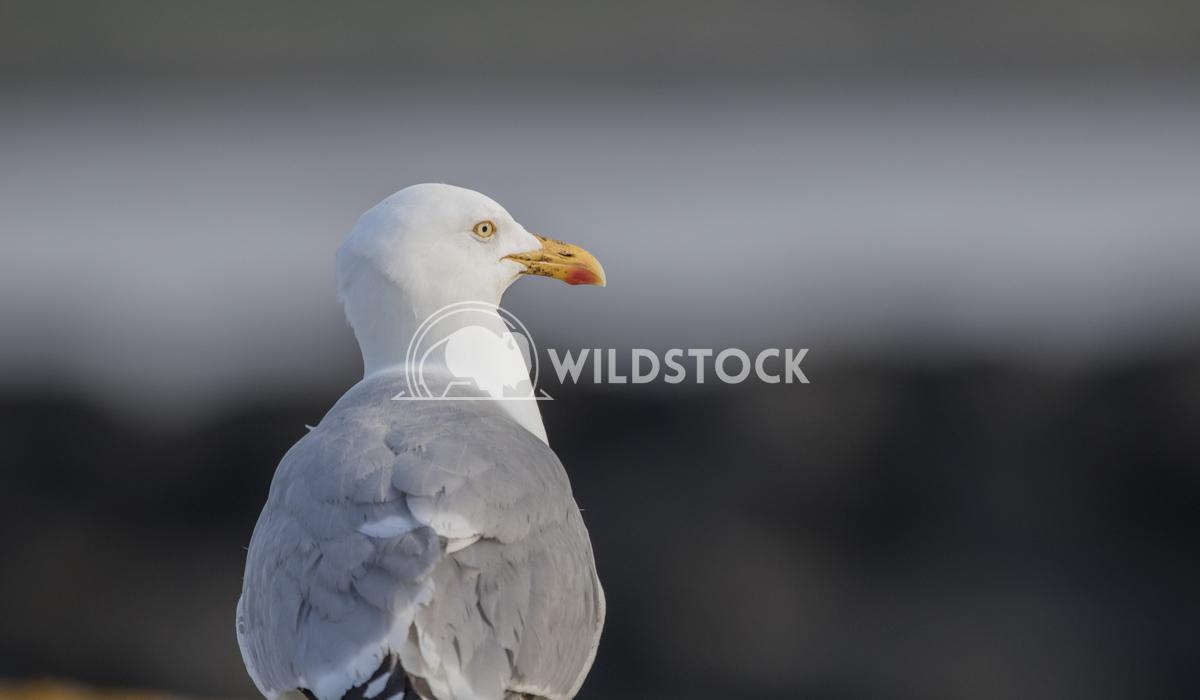 Yellow legged gull Vieru Andrei Silviu