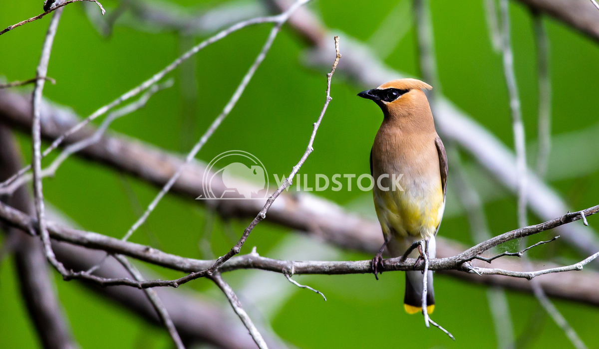 Cedar Waxwing Tony Campbell Cedar waxwing in north Quebec Canada.