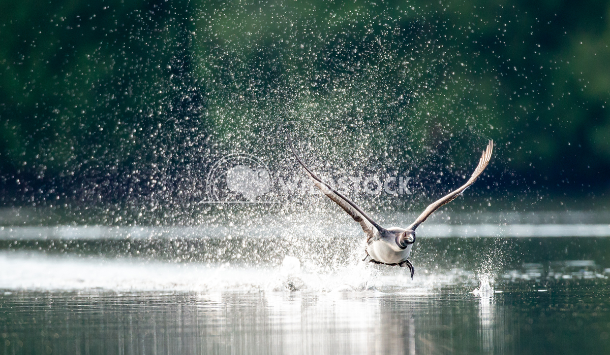 Common loon taking off from a lake in North Quebec Canada Tony Campbell Common loon taking off.