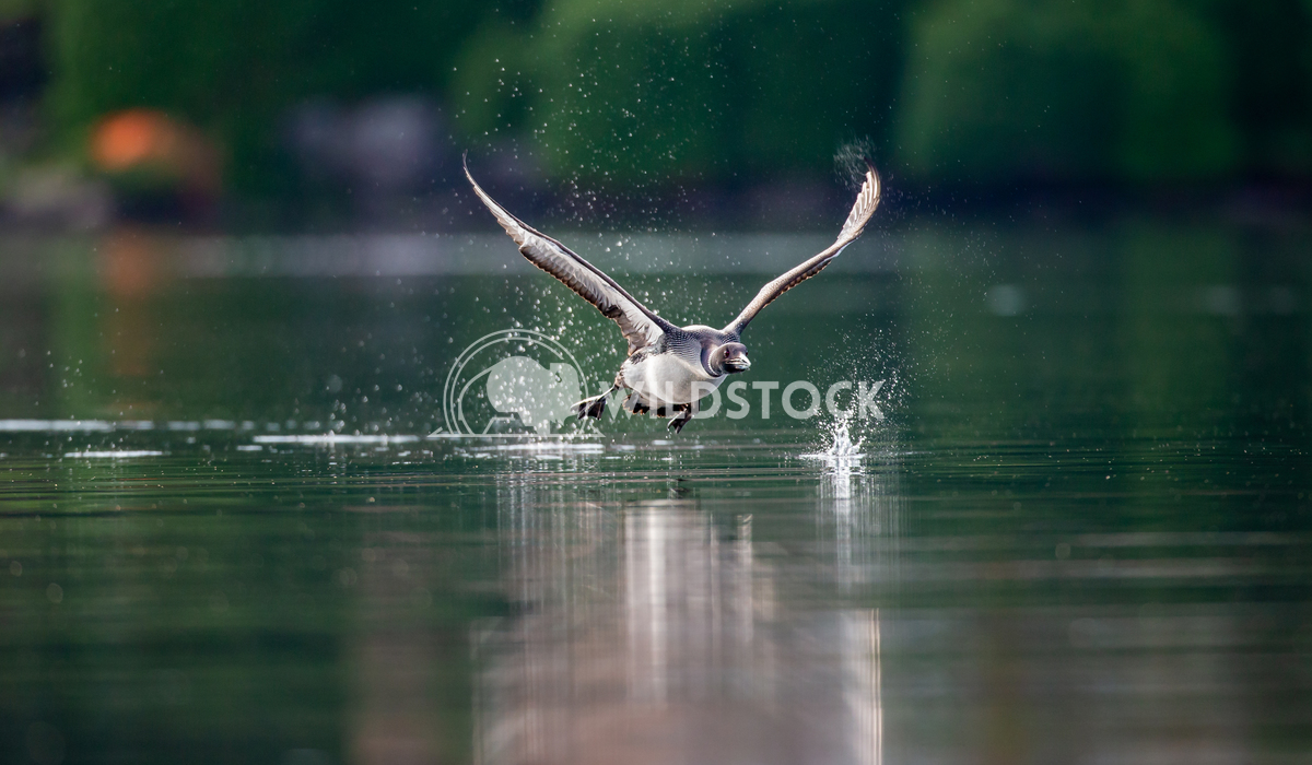 Common loon taking off from a lake in North Canada Tony Campbell Common loon taking off.