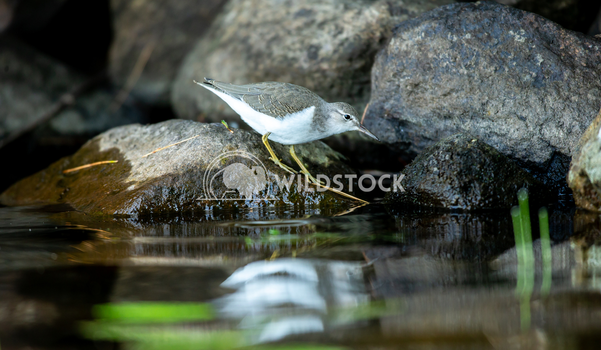 Common sandpiper on the lake shore in north Quebec Canada. Tony Campbell Common sandpiper searching for food on the shor
