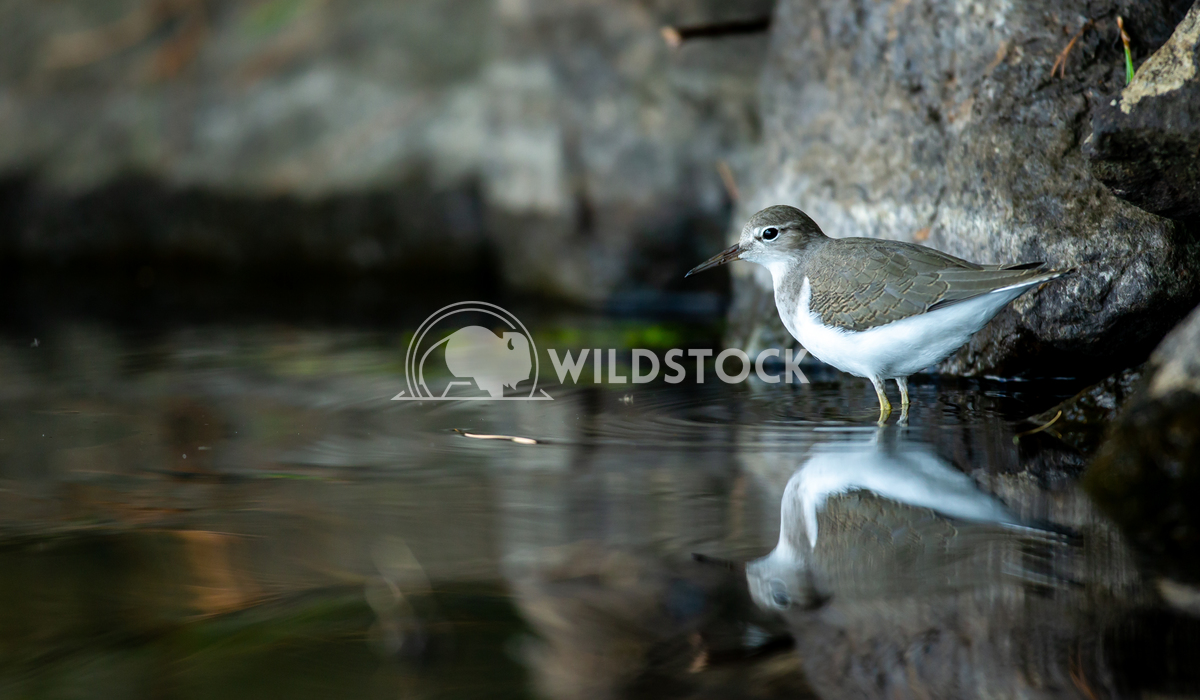 Common sandpiper searching for food on the lake shore in north Quebec Canada. Tony Campbell Common sandpiper searching f