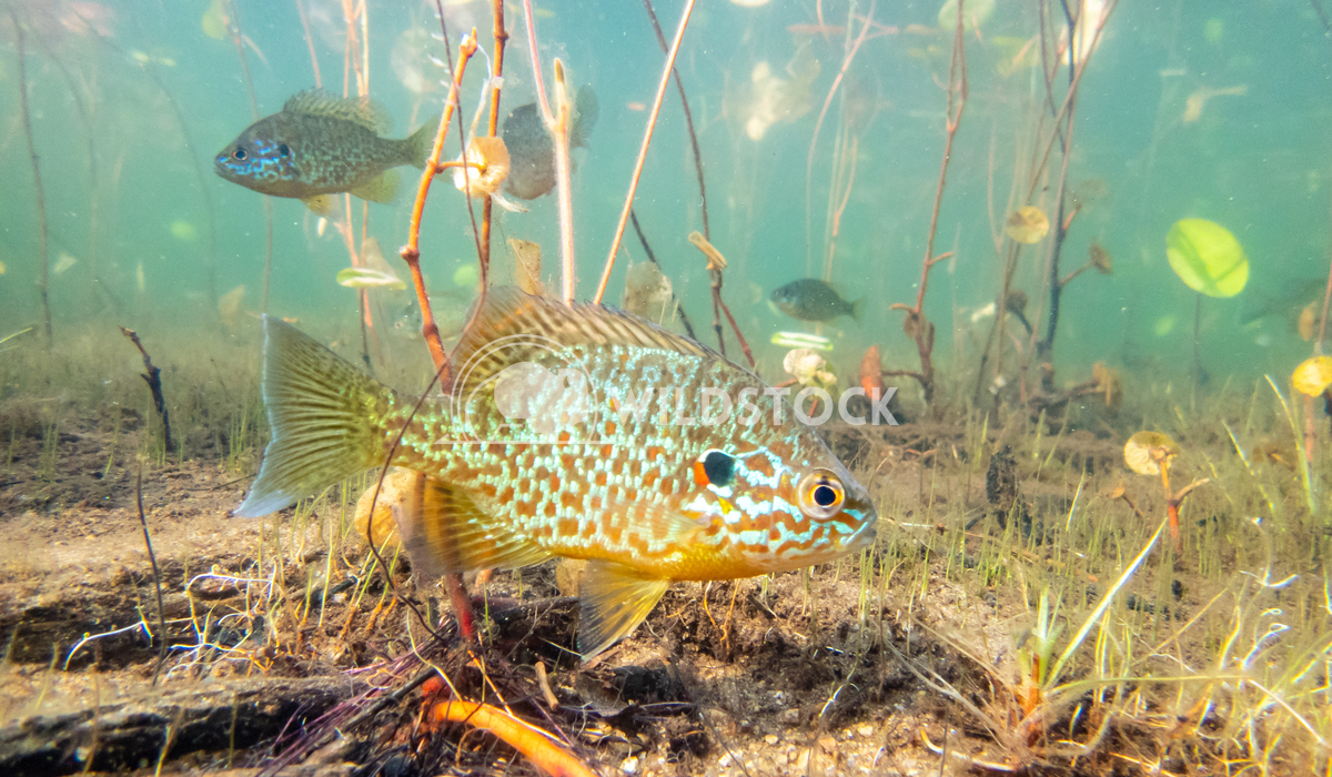 Pumkinseed Sunfish swimming wild in a lake in North Quebec Canada Tony Campbell Pumkinseed sunfish guarding its nesting