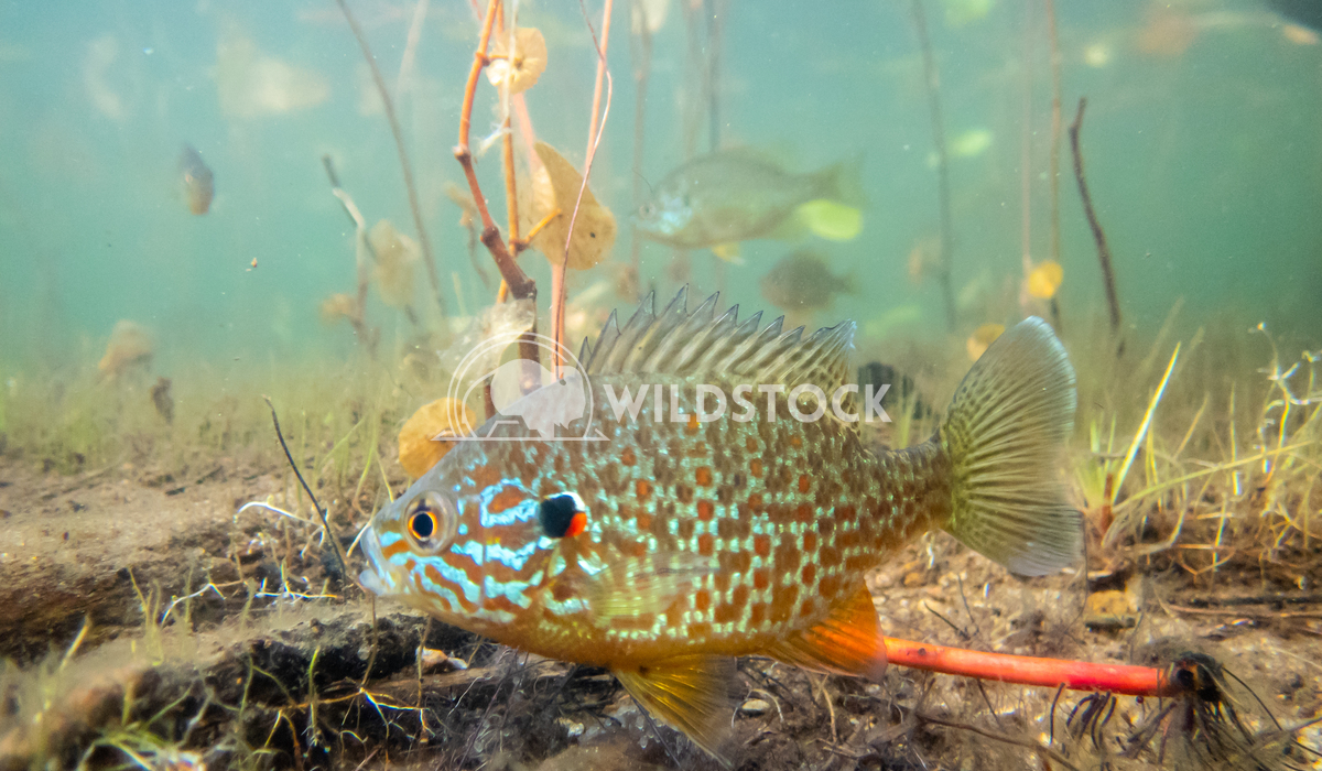 Pumkinseed Sunfish swimming in a lake in North Quebec Canada Tony Campbell Pumkinseed sunfish guarding its nesting site.