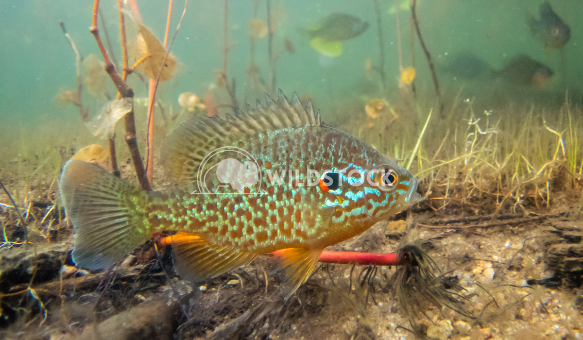 Pumkinseed Sunfish swimming wild and free in a lake in North Quebec Canada Tony Campbell Pumkinseed sunfish guarding its