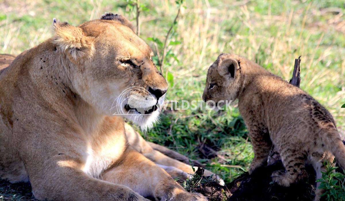 Basking Lioness Frank  Castro
