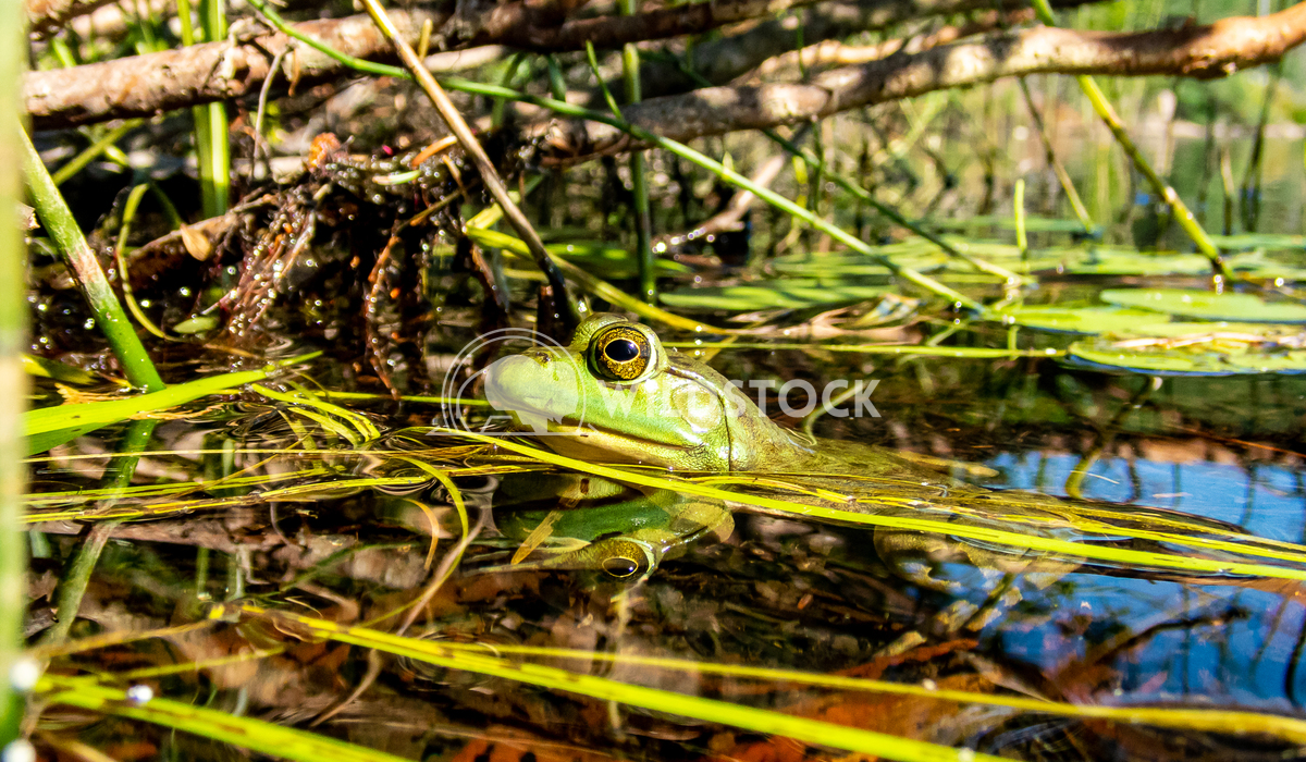 Green frog Tony Campbell Green frog watching in a lake for flies and insects to eat.