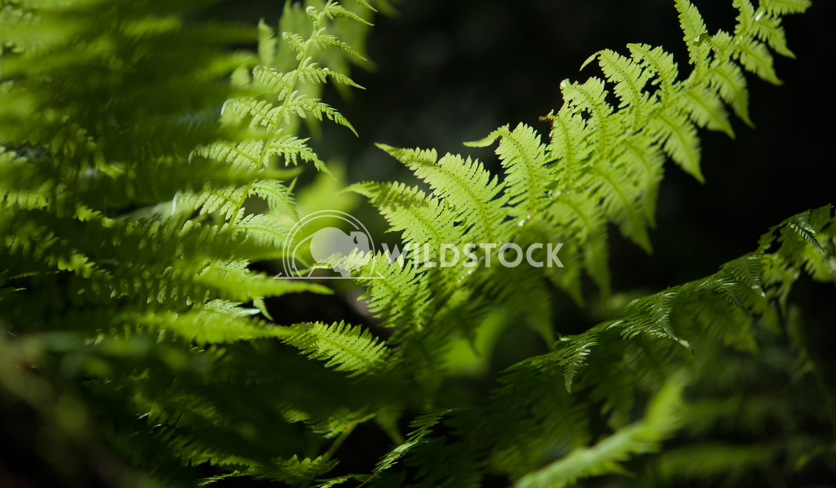 Fern Susanti Chandra Fern photo taken in the little forest in Les Paccots