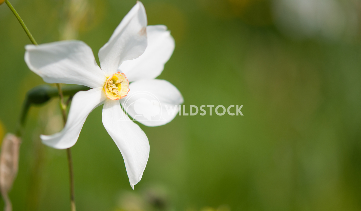 Narcisses Susanti Chandra Narcisses is known as snow in May