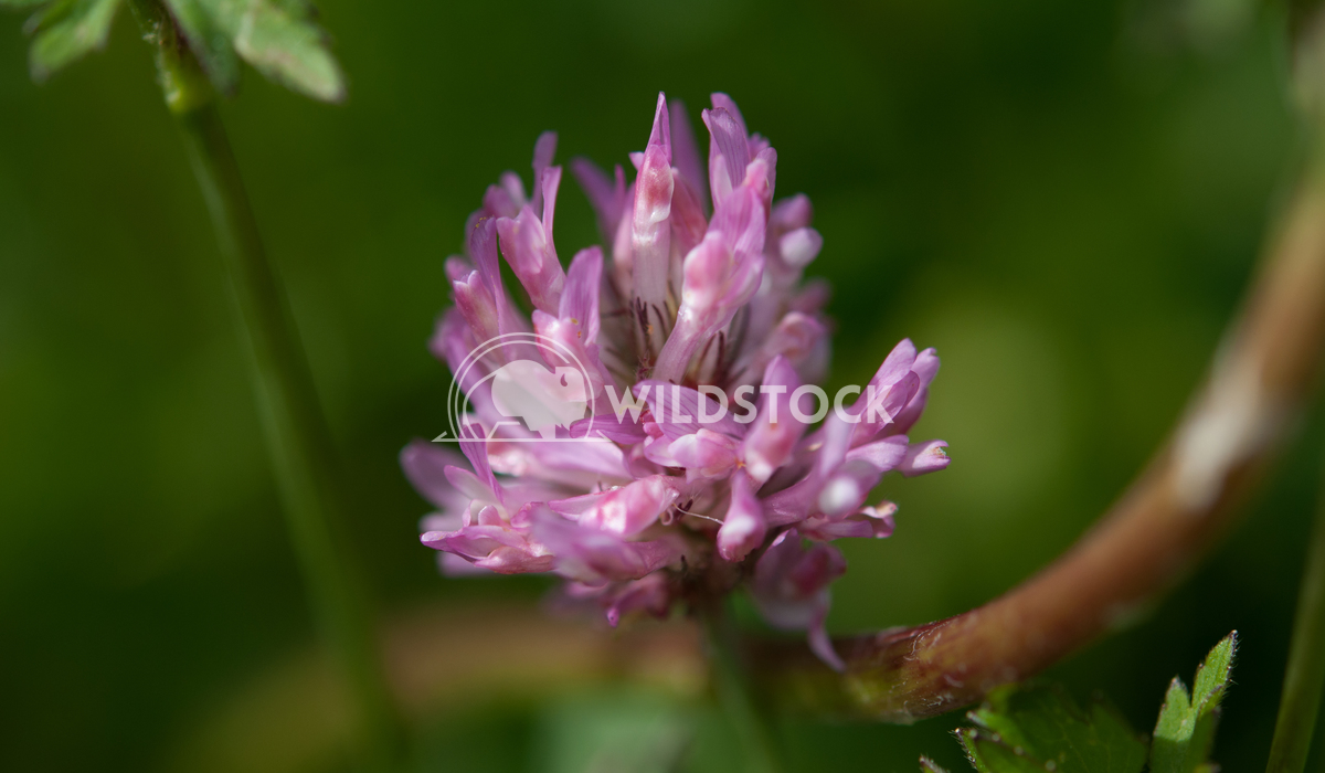 Trèfle de prés Susanti Chandra Medicinal plant