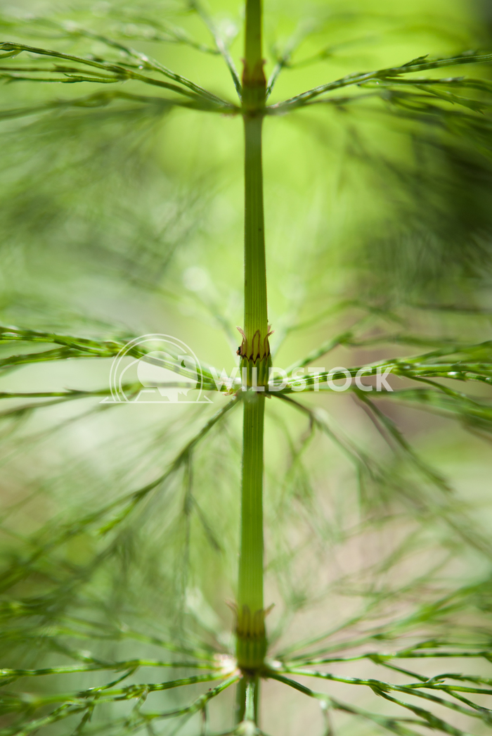 Equisetum arvense Susanti Chandra Young plant can be eaten like asparagus.