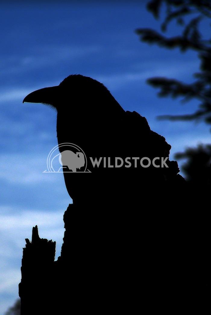 raven silhouette John Anglim