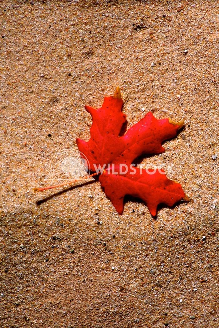 red leaf John Anglim